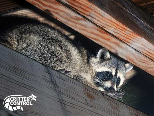How Do You Get Rid of Raccoons in the Attic?
