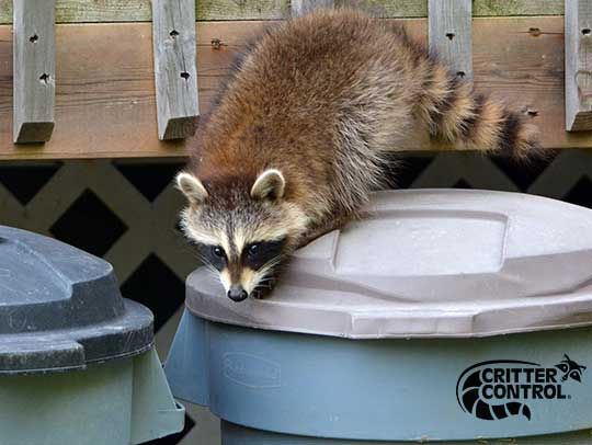 Raccoon Removal in Allison Park