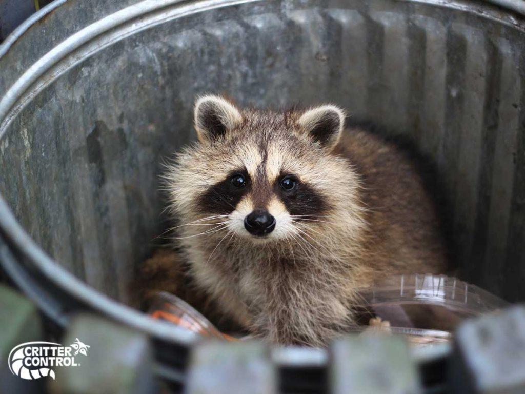 Raccoon Removal in Mt. Lebanon