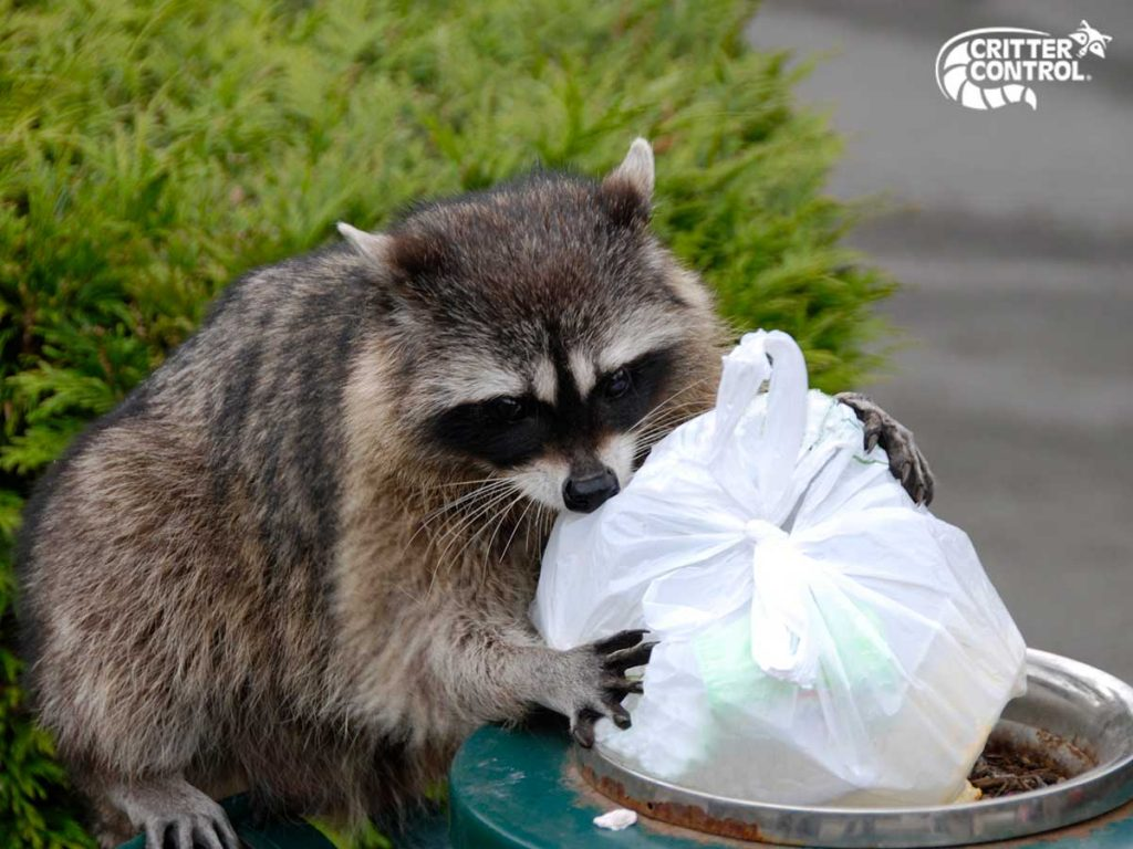 Raccoon Removal in Upper St. Clair