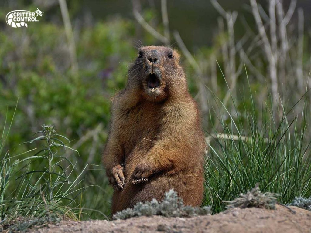 How to Get Rid of Groundhogs and Keep Them Away