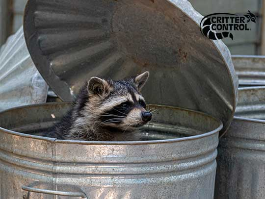 How to Keep Raccoons Out of Your Trash