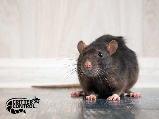 How to Permanently Get Rid Of Rats