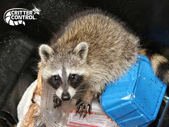 Raccoon Removal in Churchill