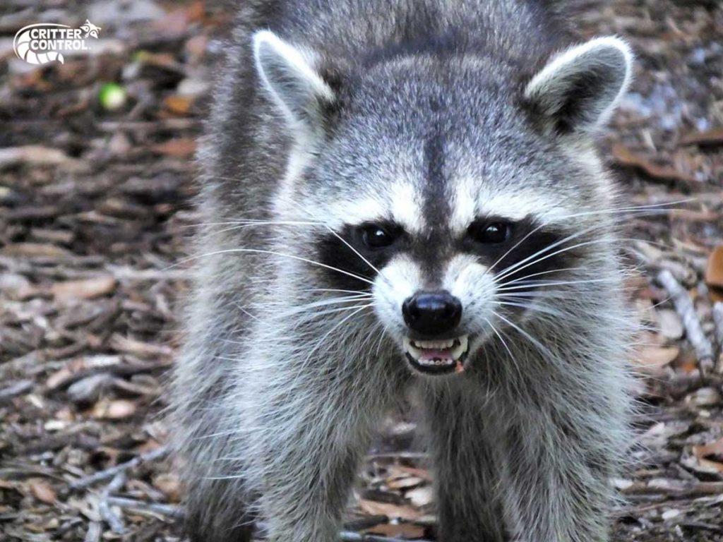 Raccoon Removal in Fox Chapel