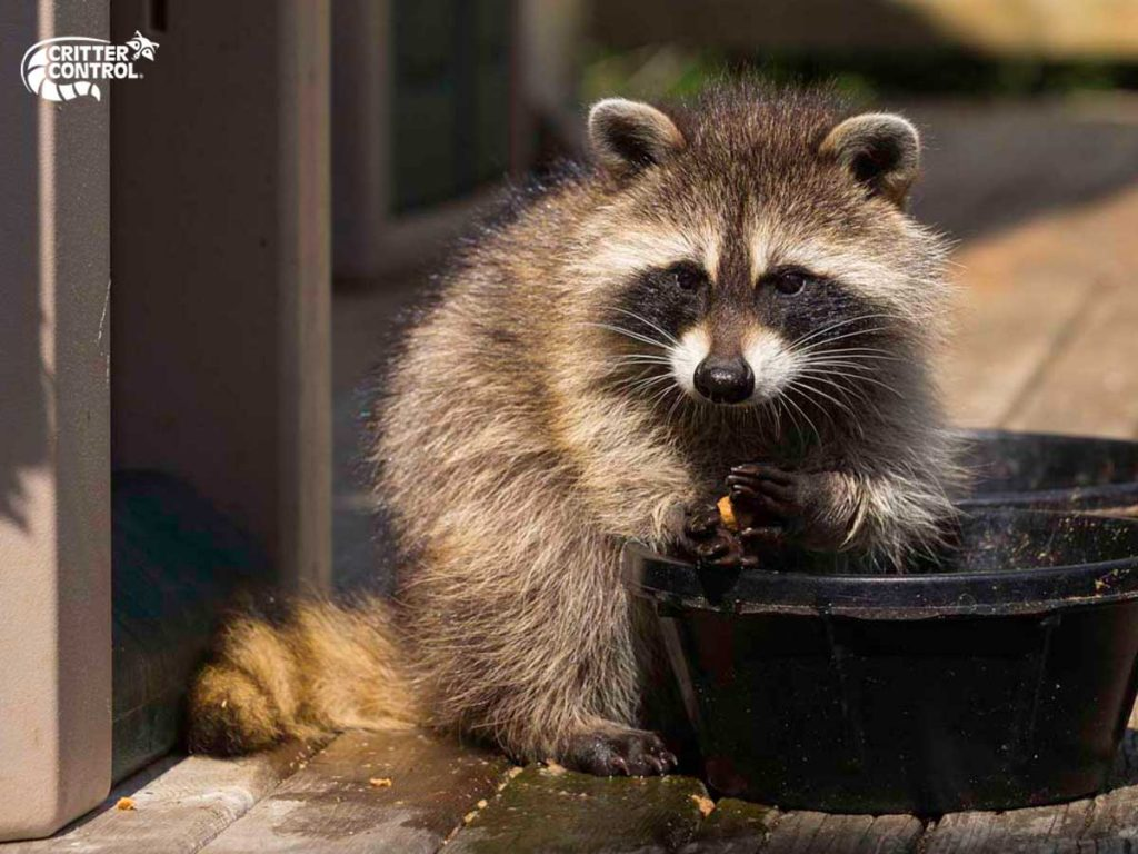 Raccoon Removal in Gibsonia